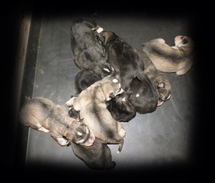 tundras 2day old pups