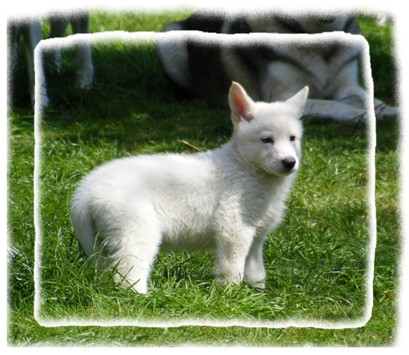 white pup