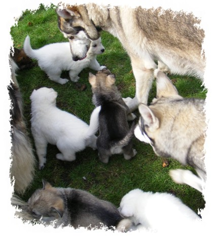 pagans pups meet the pack for the first time