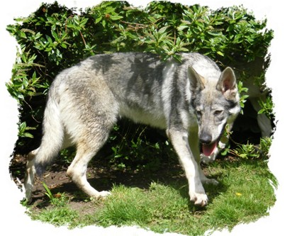 Silver czechoslovakian wolfdog - photo#11