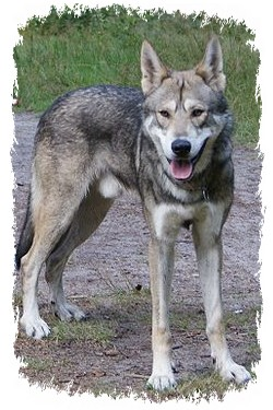 saarloos wolfhund stockpic