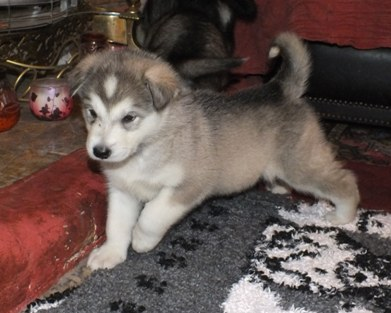 tundra pup four and half wks