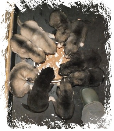 tundras pups first meal