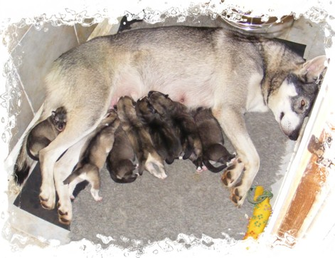 wicca and newborn pups