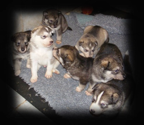 wiccas pups 4 wks